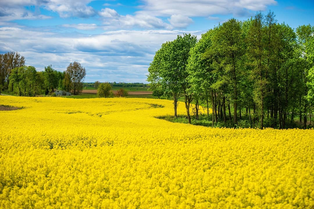 Rzepakowe pola prezentują się cudownie! 😍🌳🌄 ______ #mikolajki #mikołajki #miastomikolajki #beautifulpoland #mazury #perl